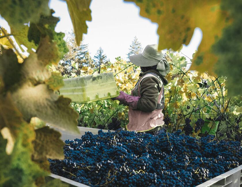 Bin of Grape Clusters in Beaulieu Vineyard