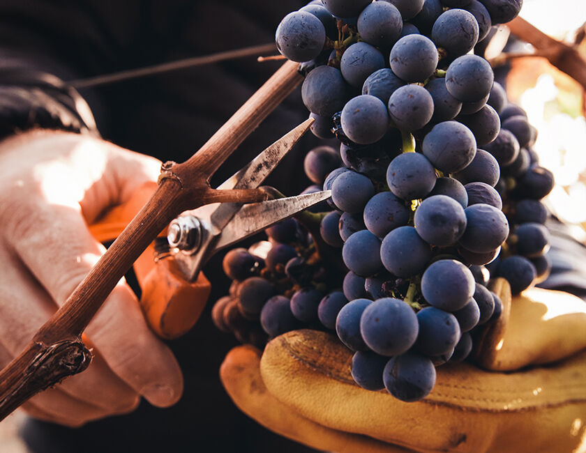 Harvesting Grape Cluster from BV Ranches
