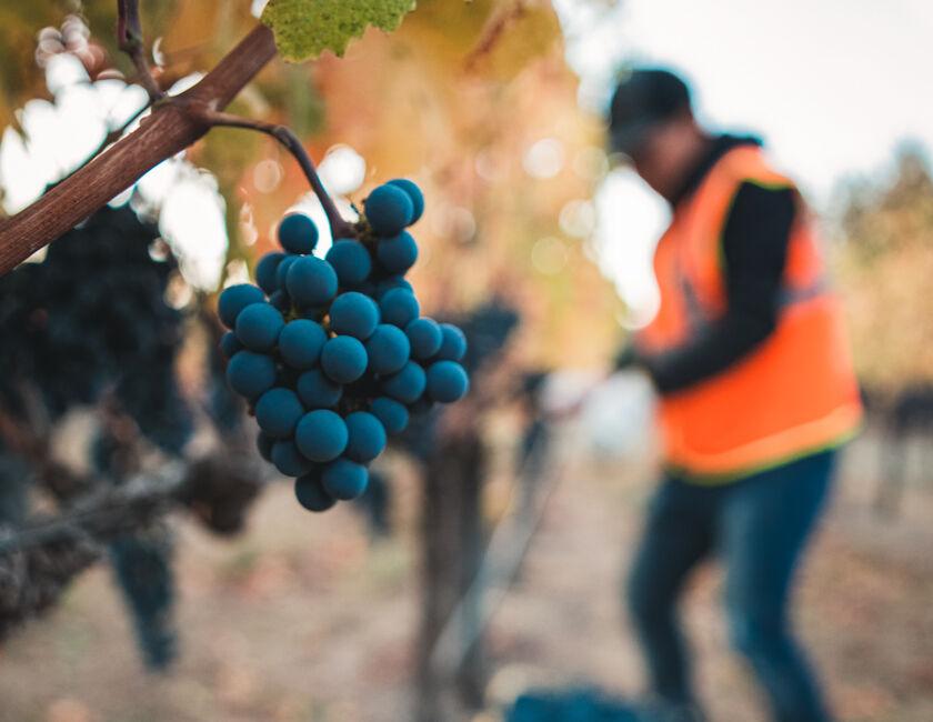 Harvesting BV Grape Clusters