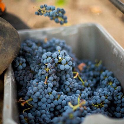 Bin of Grape Clusters During Beaulieu Vineyard Harvest