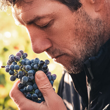 Cluster of Grapes During Harvest