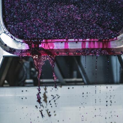 Pressing Grapes During Harvest