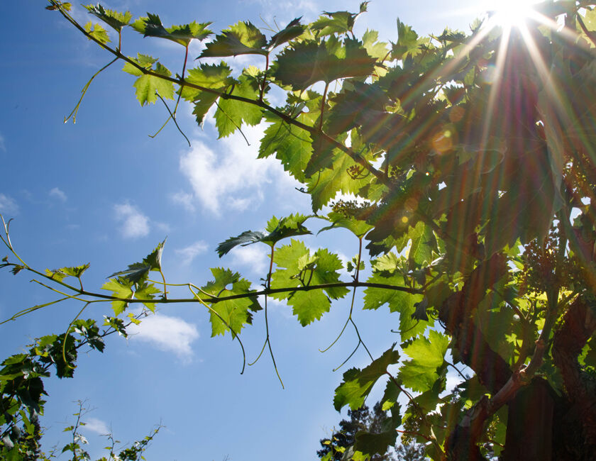 Looking Up at Vines in Beaulieu Vineyard Ranch No. 10