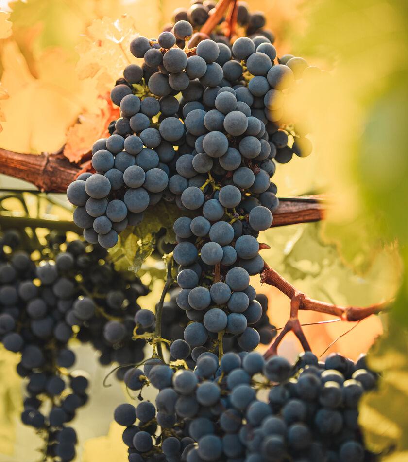 Grape Cluster on Vine in Beaulieu Vineyard Ranch No. 2